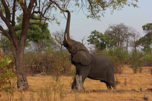 800px-African_elephant_(Loxodonta_africana)_reaching_up_2